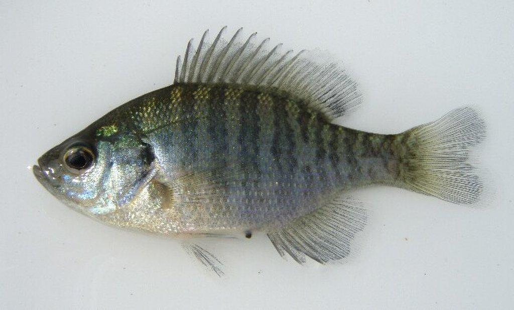 ブルーギルとはどんな魚なのか